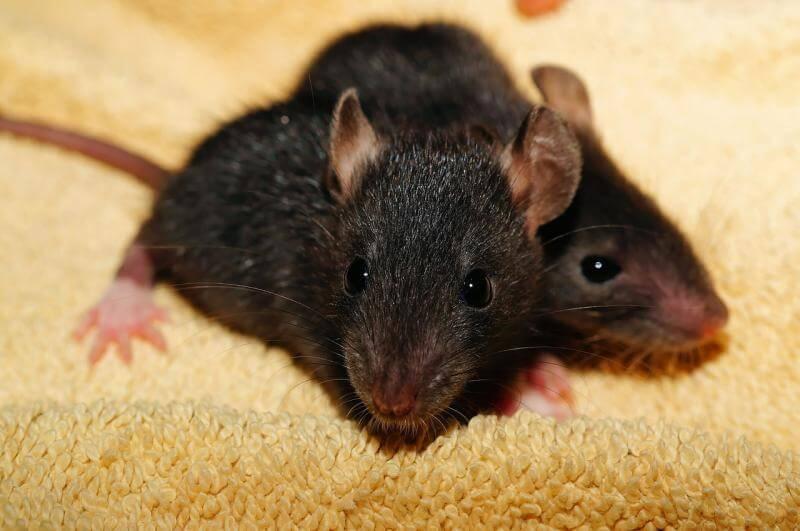 ارخص شركة ابادة فئران بالضمان,مكافحة الفئران بالرياض