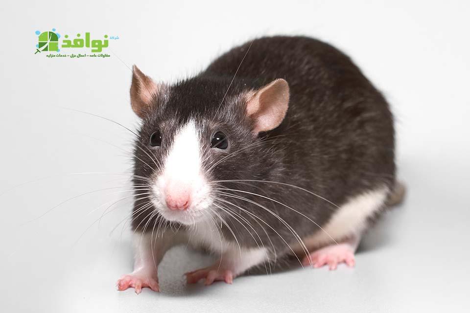 شركة مكافحة فئران بحائل